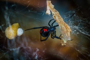 A black widow spider spotted in Kelowna, BC