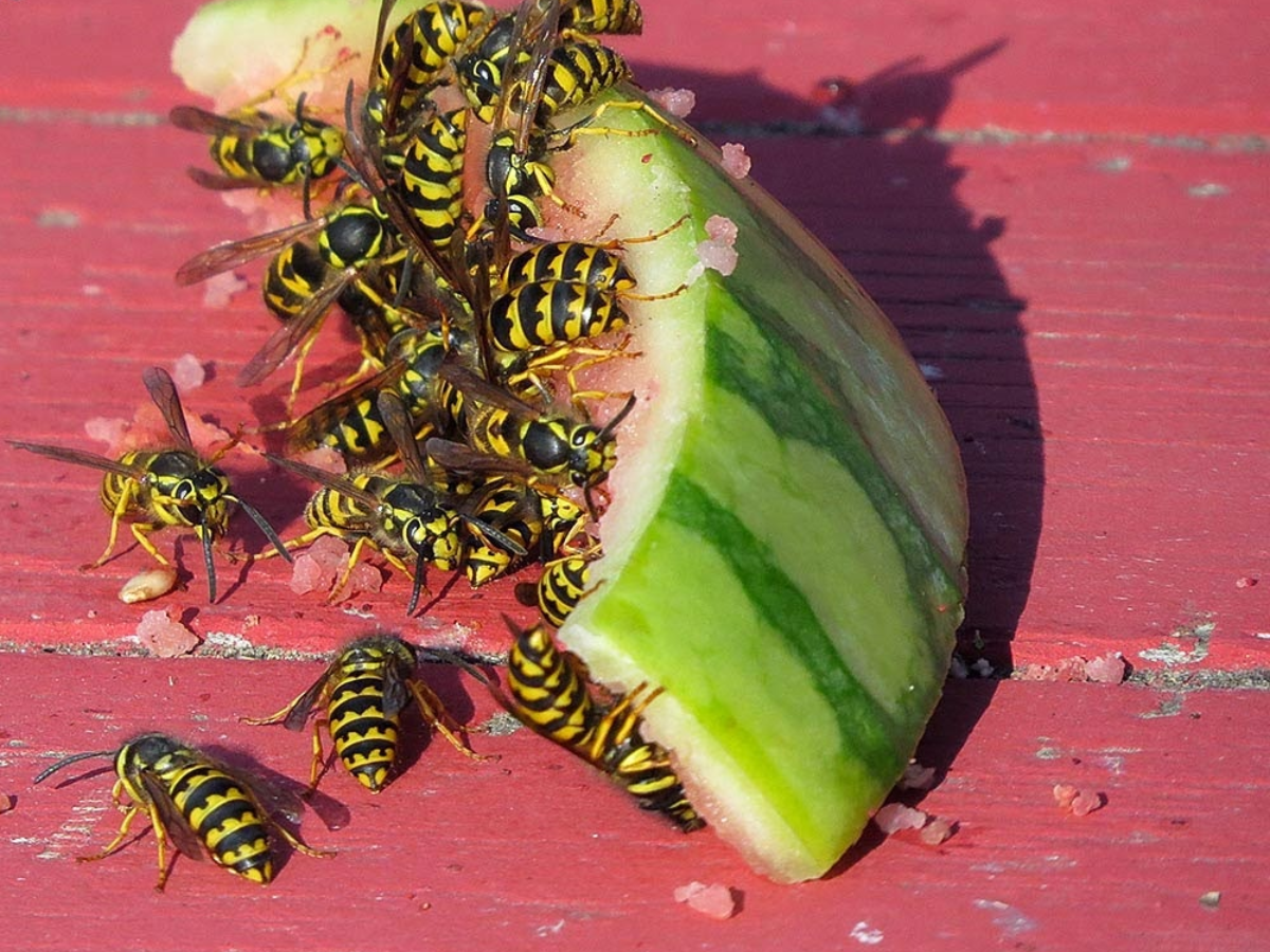 Buzz Off Wasps!