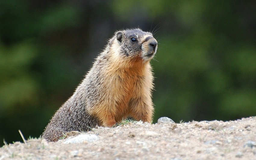 Yellow-Bellied-Marmot