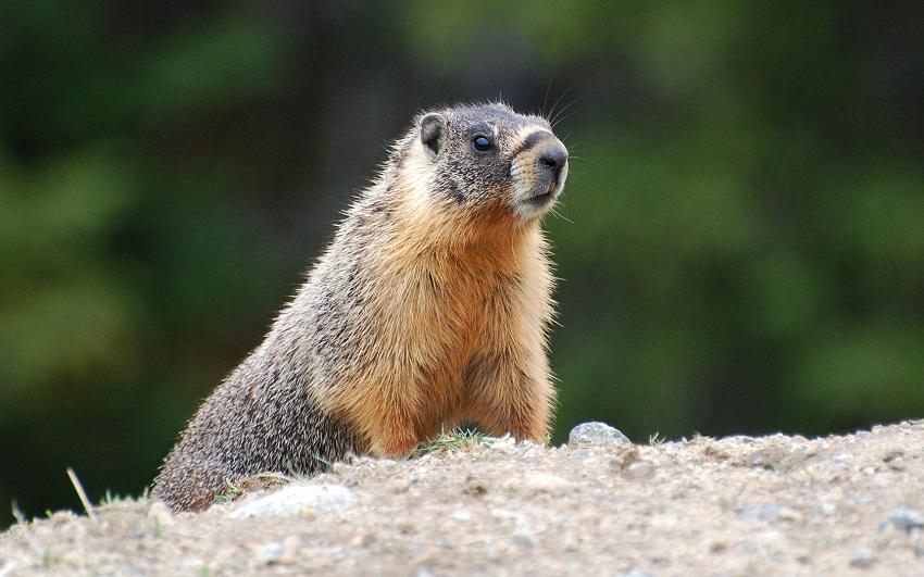 Underground Uproar - Marmots In The Okanagan