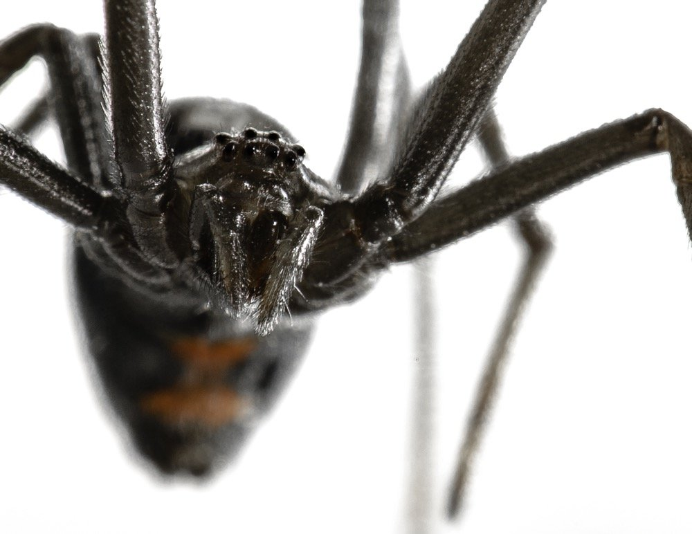 black-widows-are-creeping-in