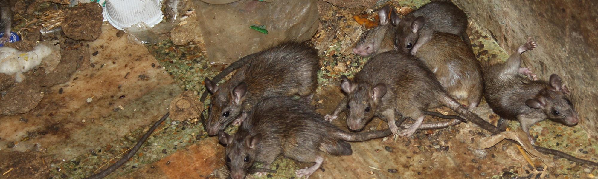 bugmaster-pest-control-kelowna-rats