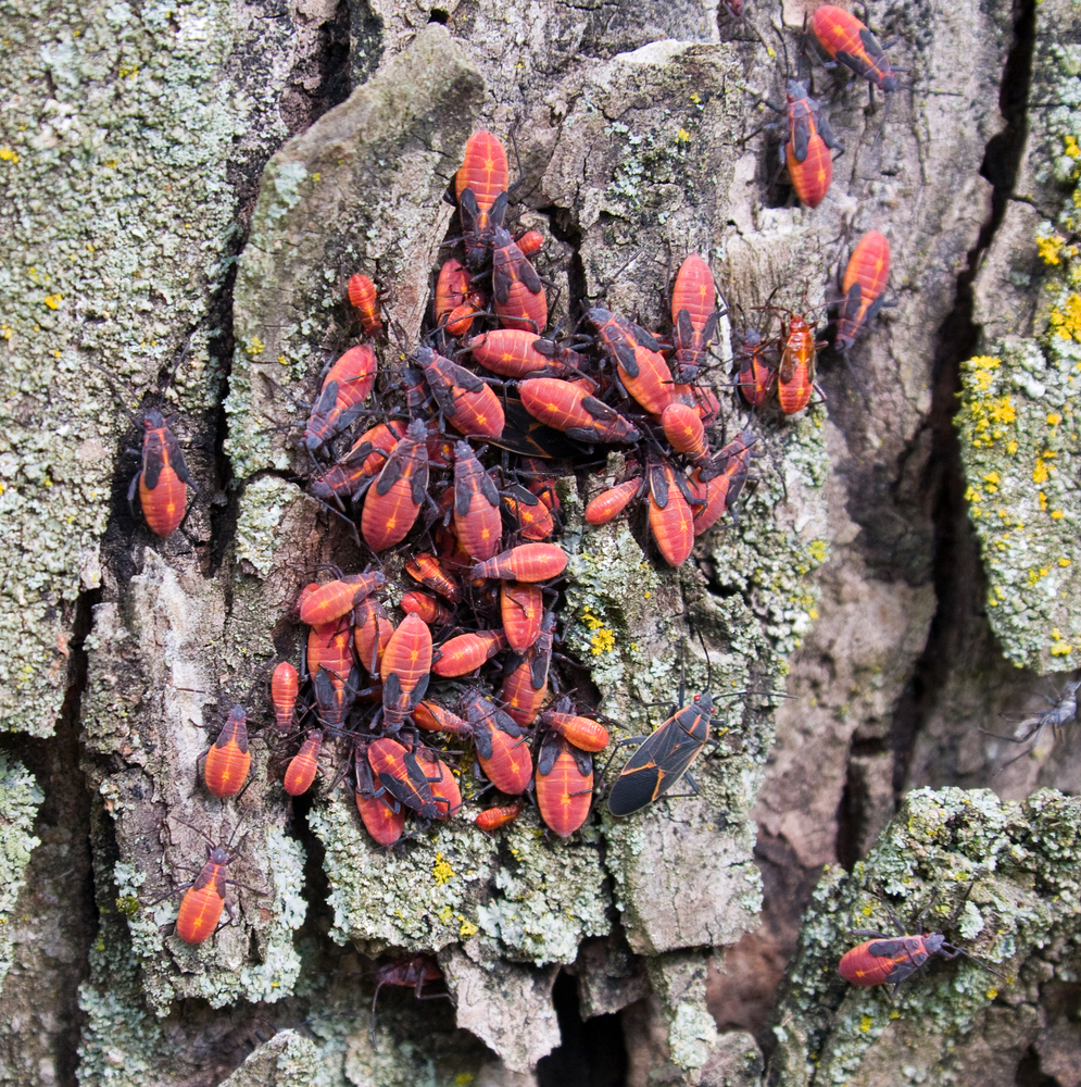 Invasion of the Boxelder Bug
