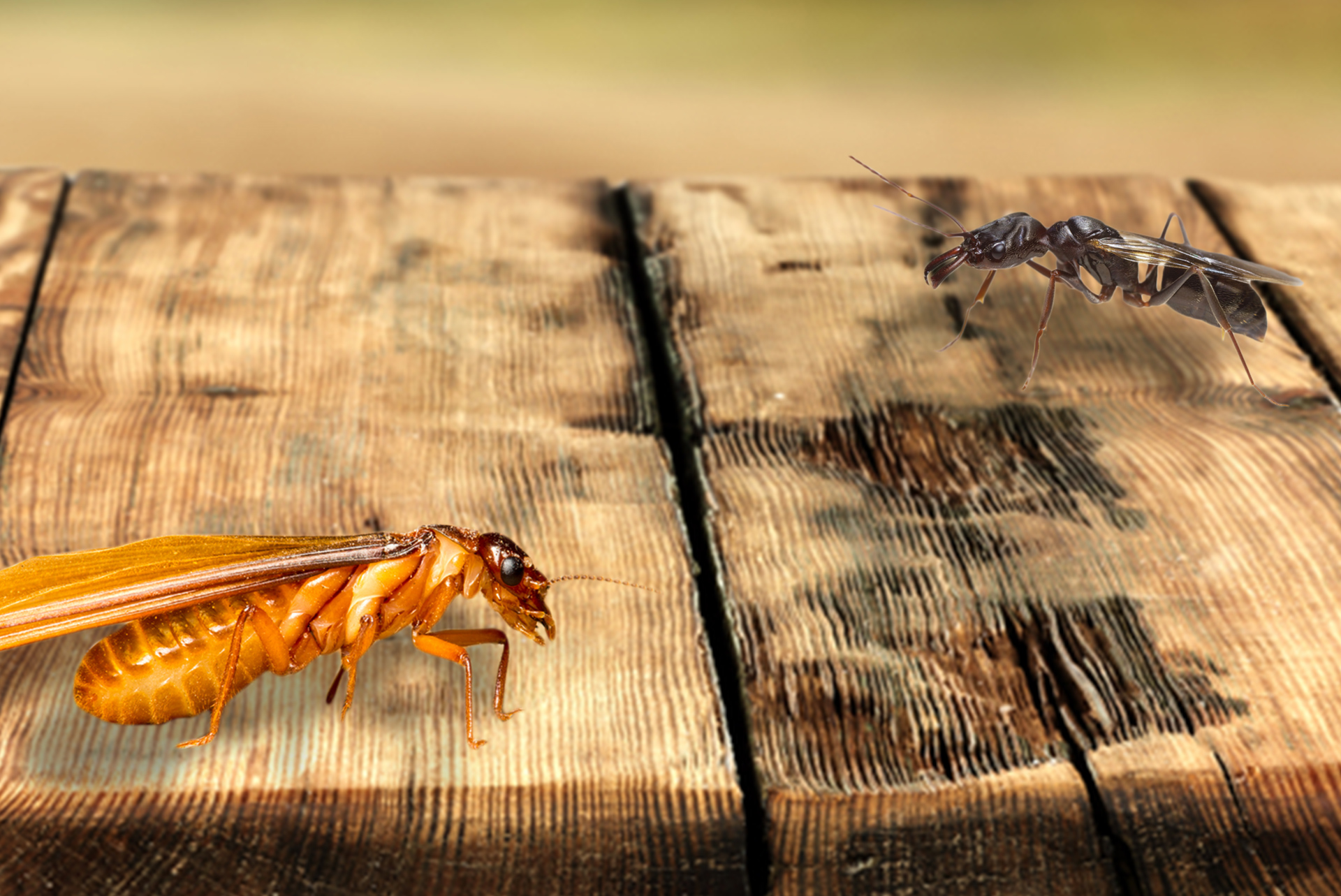 Not Your Usual Suspects – Termites vs. Flying Ants