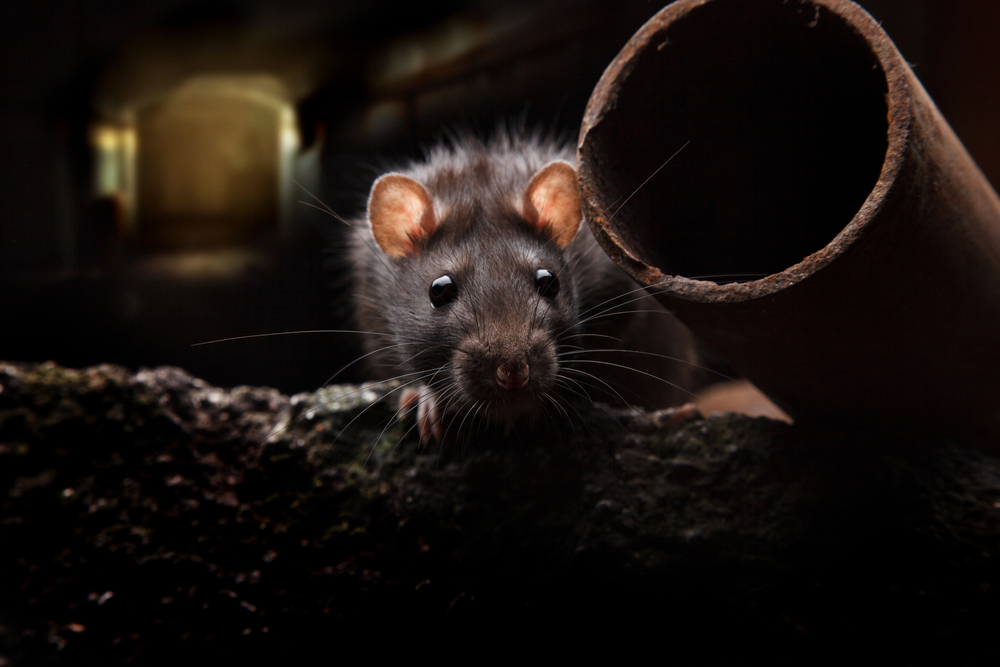 The Rat Facts: 10 Things Every Okanagan Homeowner Needs to Know About Rodents